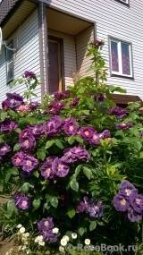 Характеристики плетистой розы сорта блю мун: условия посадки, как ухаживать