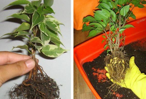 Посадка и выращивание фикуса пумила: как ухаживать, удобрять, размножать