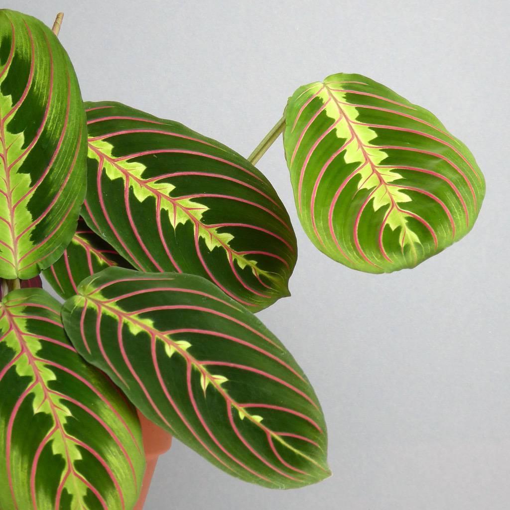Маранта трехцветная (триколор) или молитвенное растение: уход в домашних условиях, фото
