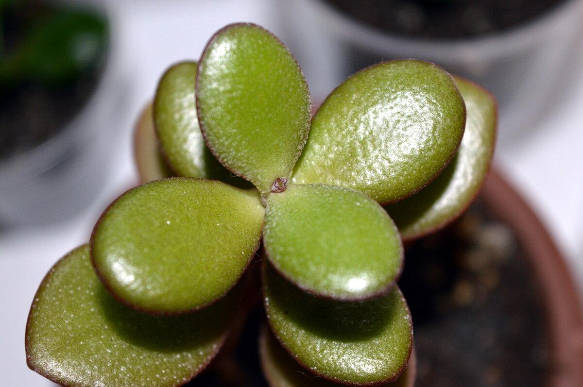 Денежное дерево: история происхождения толстянки, фото цветка крассулы