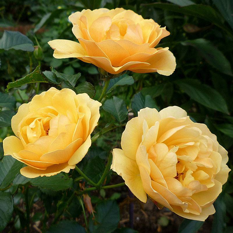 Роза флорибунда амбер квин — янтарные брызги и аромат лимона