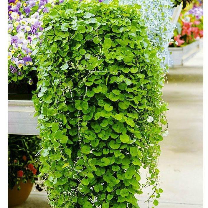 Многолетнее ампельное растение дихондра: фото, основные рекомендации по уходу и выращиванию вьюнкового растения