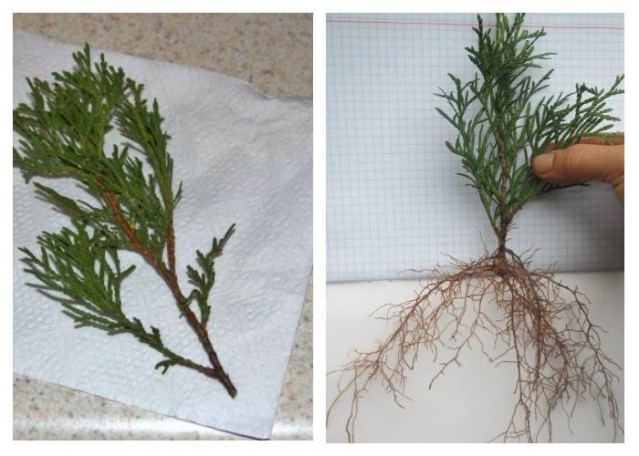 Размножение туи черенками весной: черенкование в домашних условиях. как укоренить ветку весной? посадка в открытый грунт
