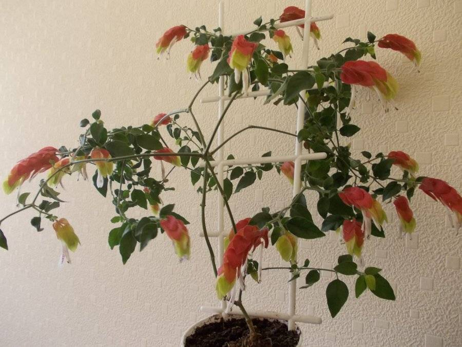 Белопероне: все о уходе за цветком в домашних условиях, посадке и размножении