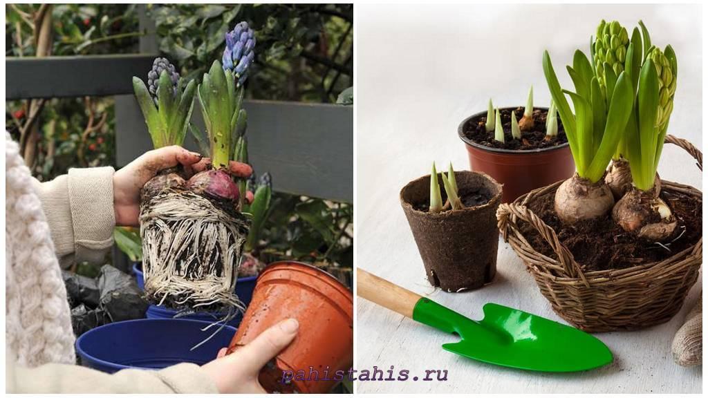 Когда пересаживать гиацинты? как правильно пересадить в другое место в саду цветы в домашних условиях? особенности ухода за луковицей после пересадке в грунт
