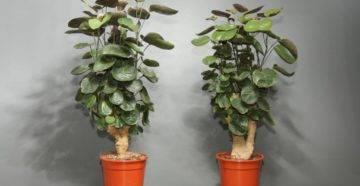 Необходимые условия для выращивания стрелиции: примеры из семян, уход за цветком