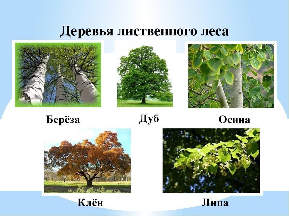Лиственные деревья — виды и продолжительность жизни