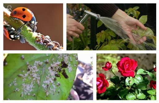 Лучшие рецепты для обработки и защиты роз от тли