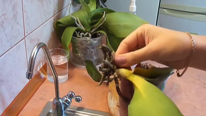 Как реанимировать орхидею: варианты восстановления и реанимирования цветка