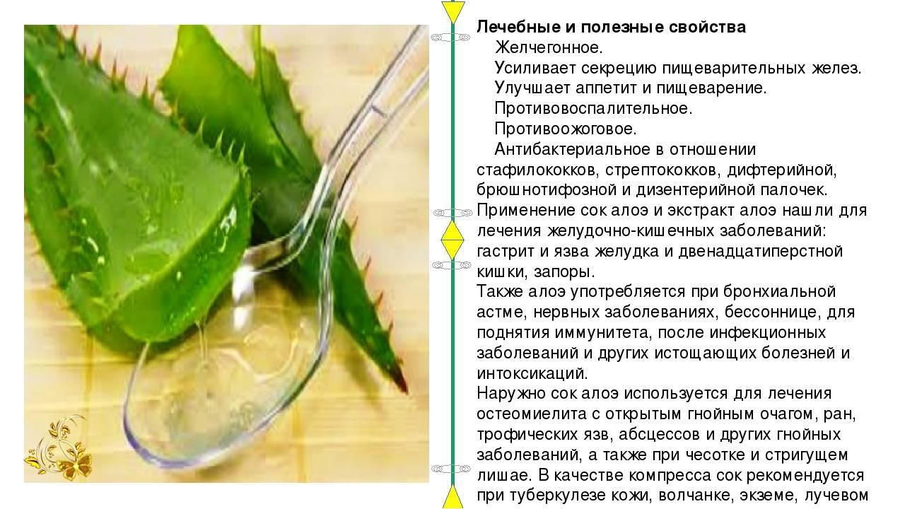 Цветок алоэ вера: описание, особенности ухода и выращивания, лечебные свойства, фото