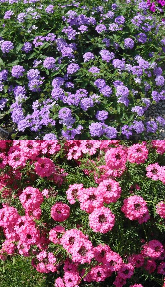 Вербена ампельная: посадка, уход, фото, а также особенности посадки семенами