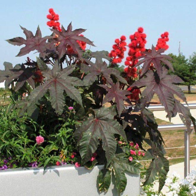 Клещевина (54 фото): выращивание клещевины обыкновенной из семян. как сажать на рассаду цветок, похожий на пальму? уход в саду