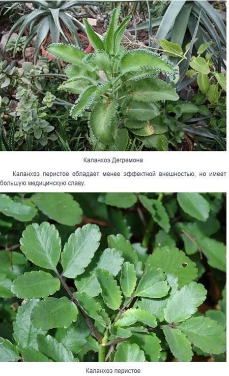 Хирург без ножа — каланхоэ, цветок обладающий огромным перечнем лечебных свойств, описание с фото