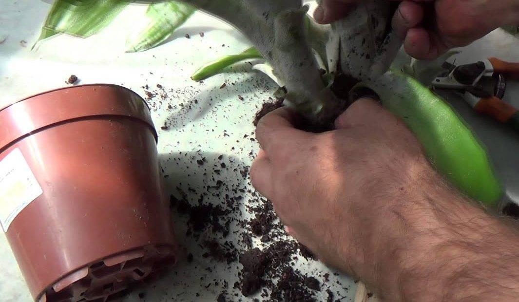 Как правильно пересадить гузманию после покупки: способы размножения