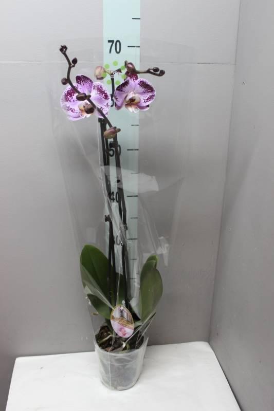 Сорта и виды орхидей — описание и уход