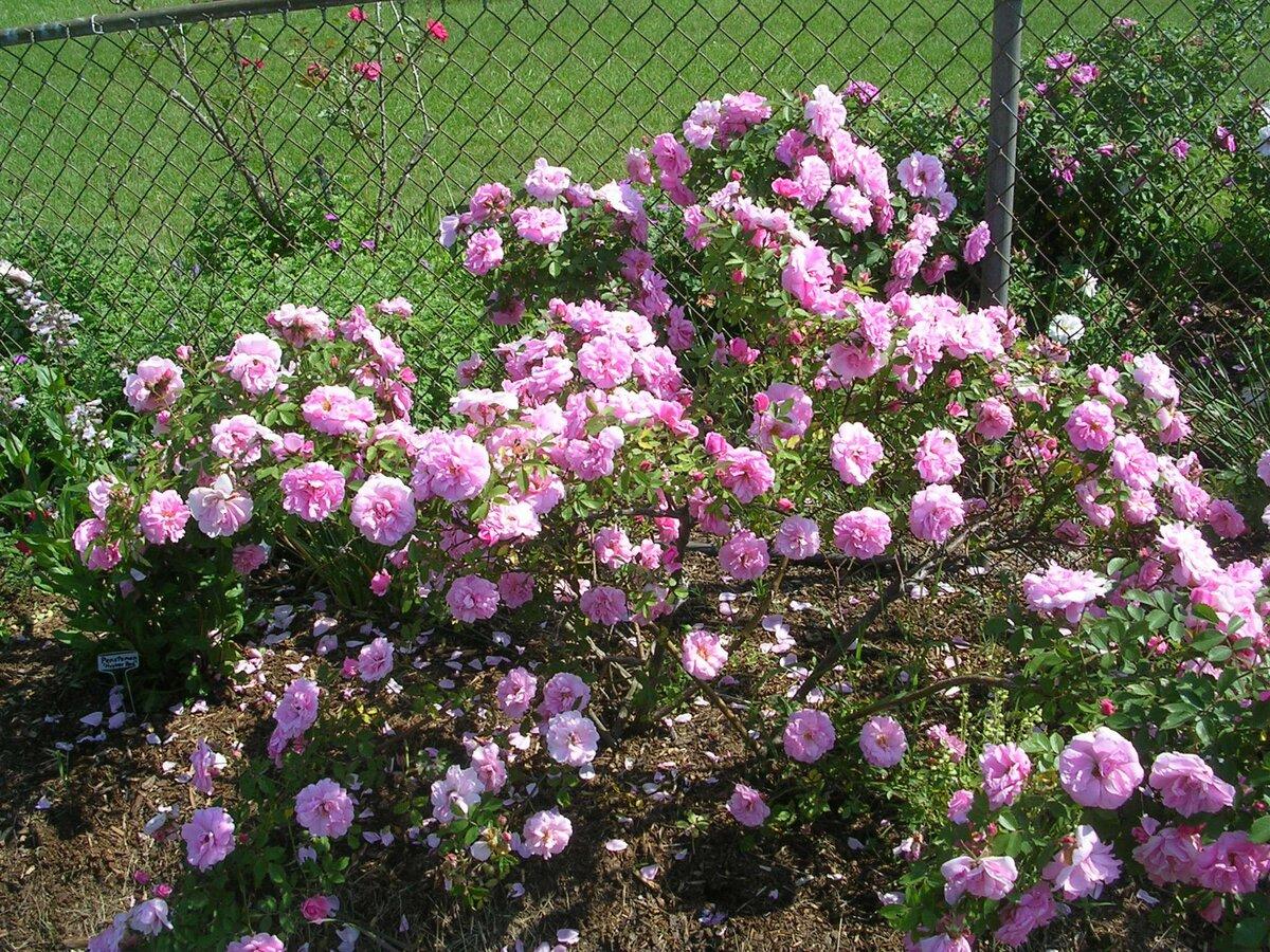 Выразительная роза ферст леди: описание и фото сорта, использование в ландшафтном дизайне, уход и другие нюансы
