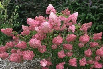 Сорт августа луиза: что это за представитель чайно-гибридных роз, описание, уход