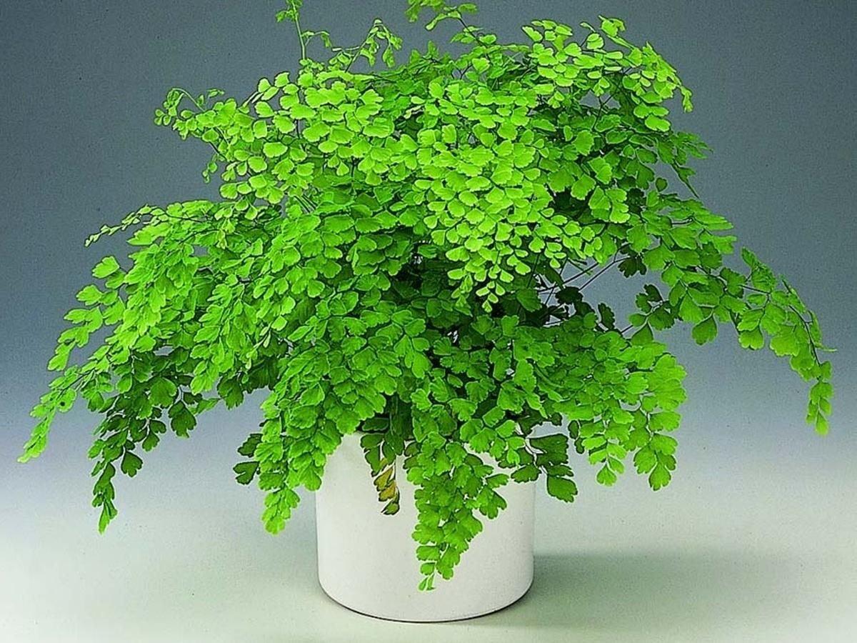 Можно ли растить папоротник в квартире, и стоит ли сажать растение на участке