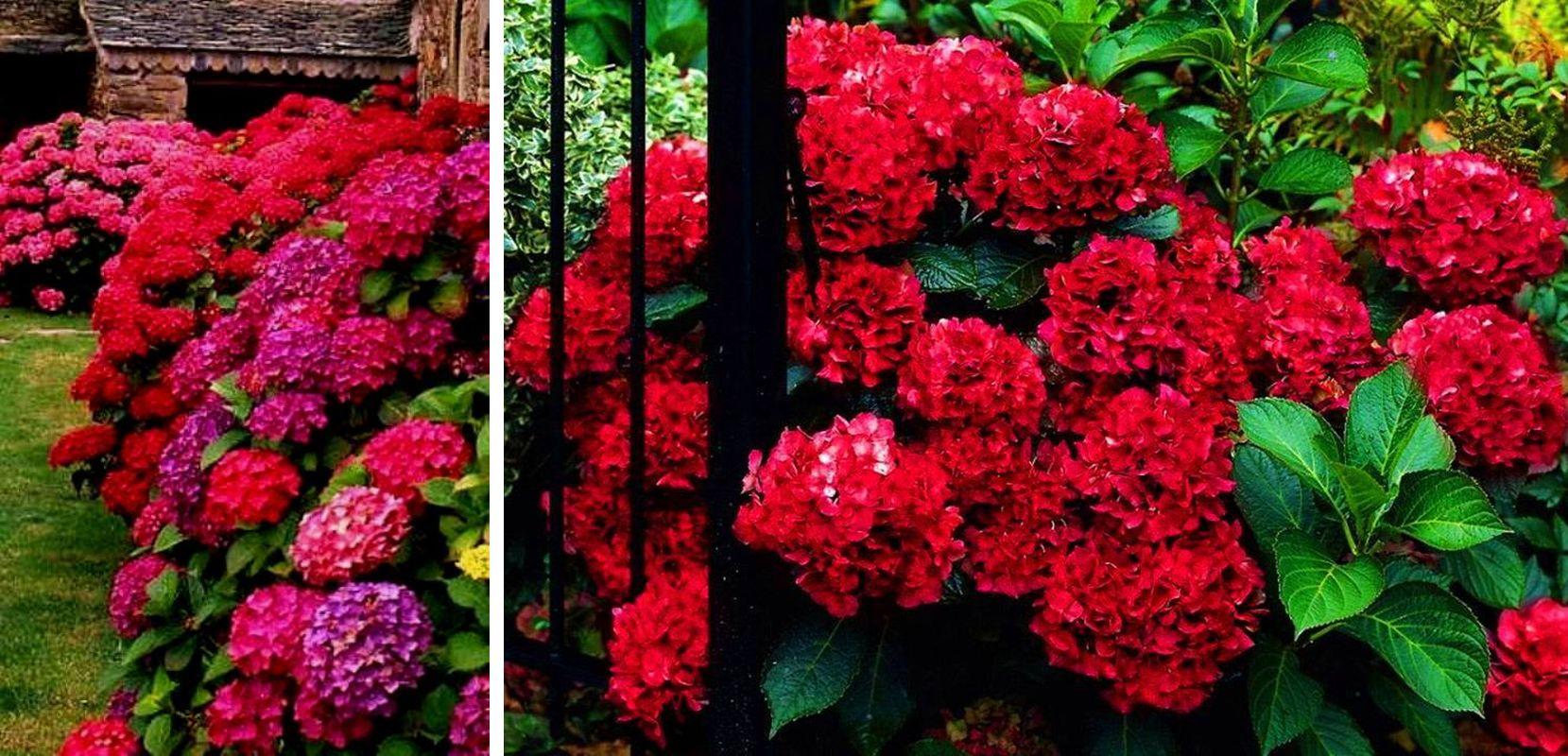 Цветение садовой и комнатной гортензии: когда начинает цвести после посадки