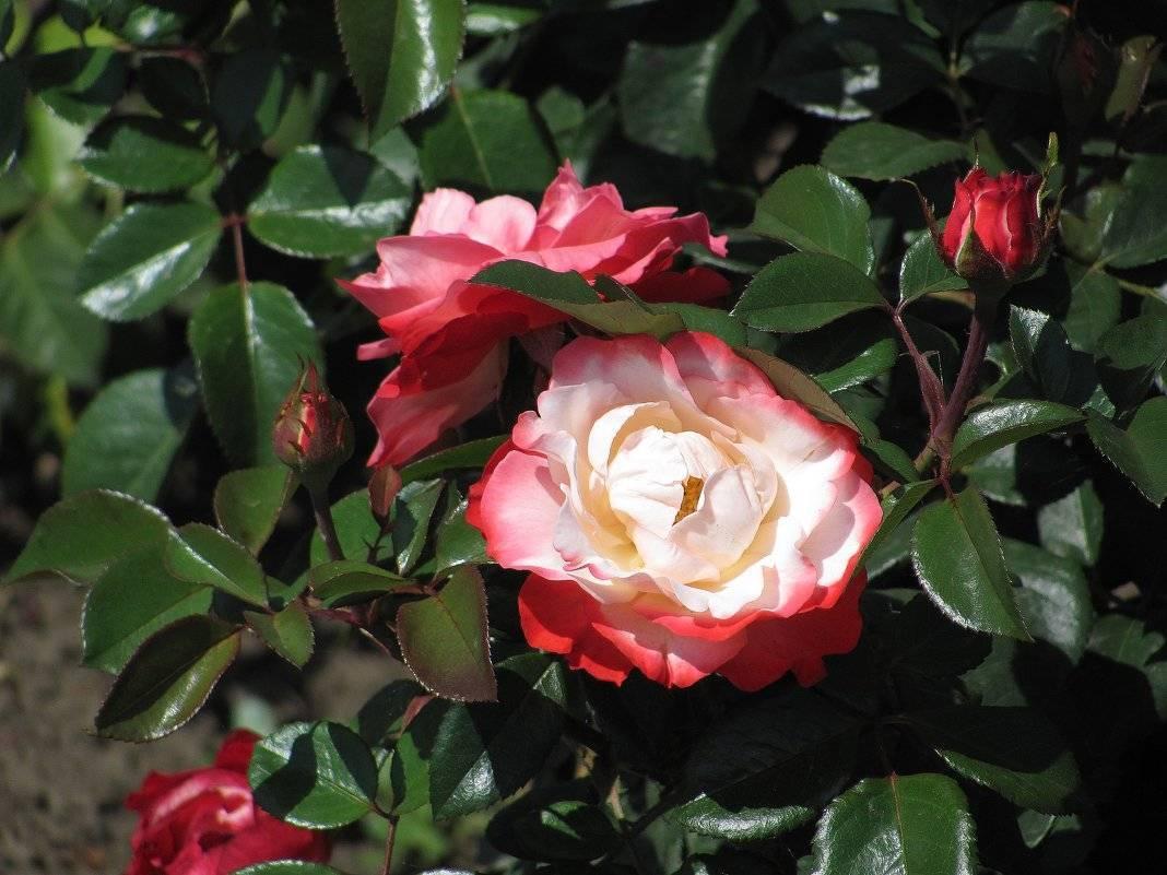 Роза Ностальжи (Nostalgie) — что это за штамбовый сорт