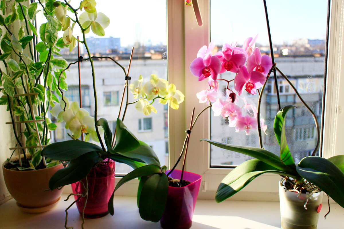 Как заставить цвести орхидею фаленопсис в домашних условиях: что делать, если уход не даёт результатов, и какую стимуляцию выбрать, чтобы разбудить растение?