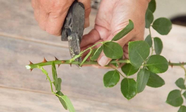 Как вырастить розу из черенка в домашних условиях: как размножать из срезанной, правильно посадить в горшок, развести, укоренение и уход за комнатным цветком, фото