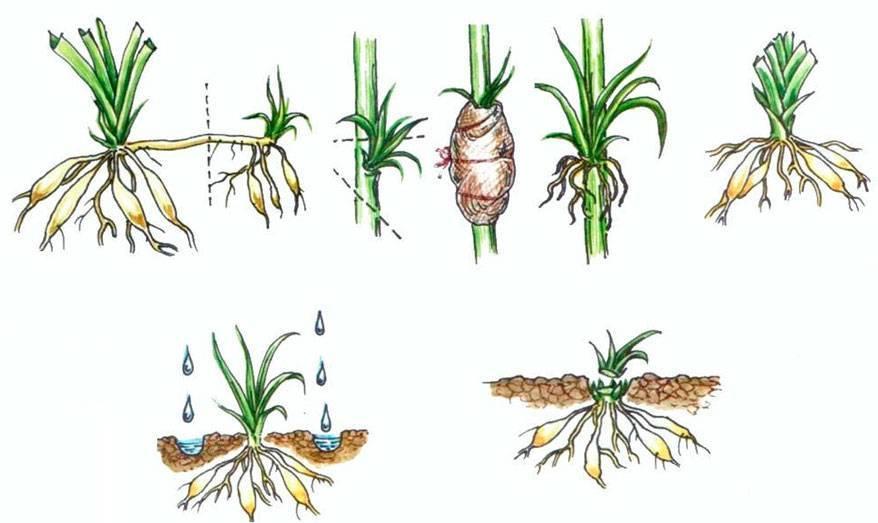 Выращивание мискантуса в открытом грунте, правила ухода и сорта