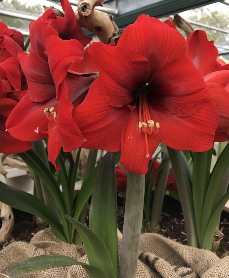 Секреты выращивания гиппеаструма: как добиться роскошного цветения