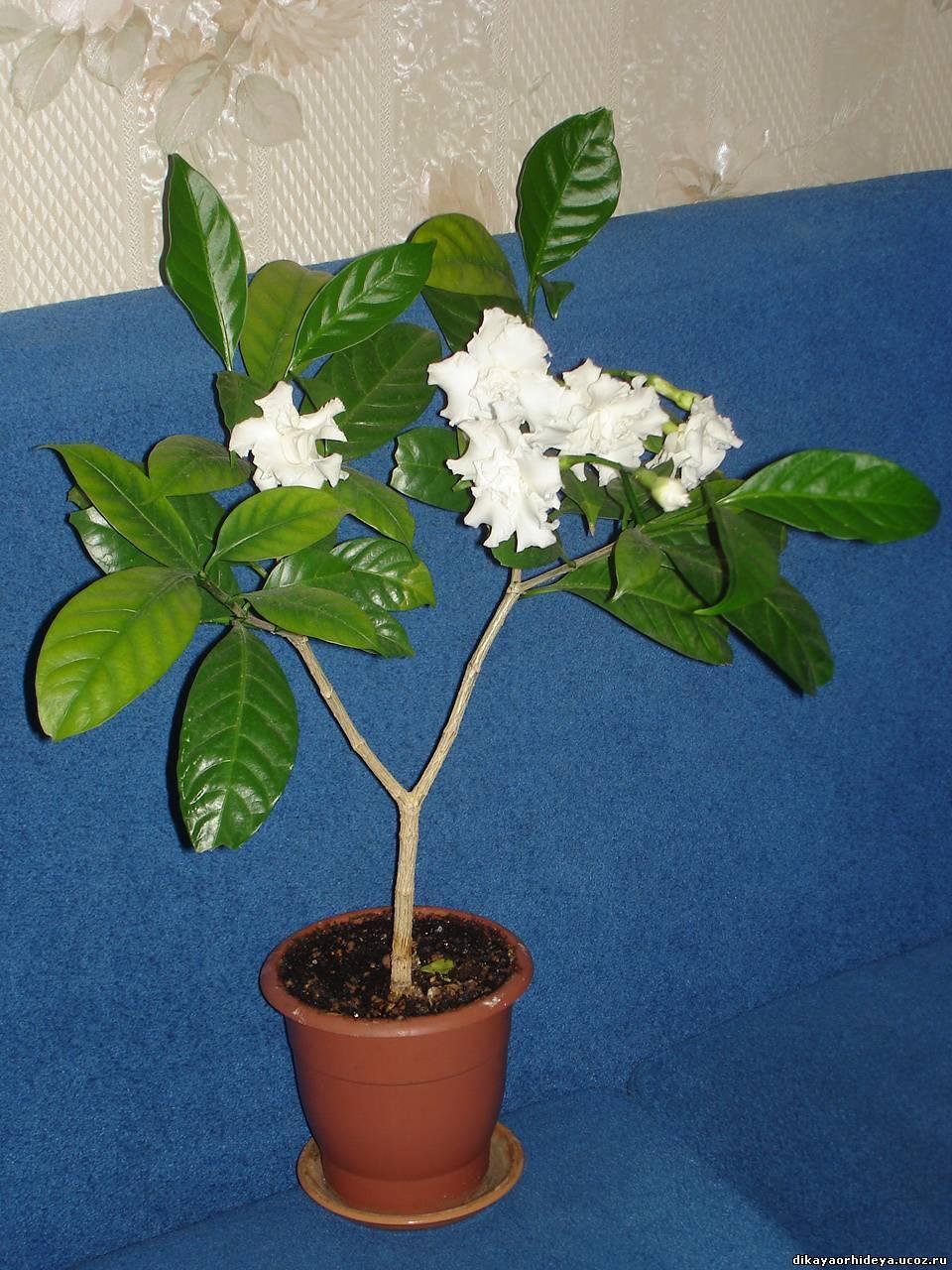 Цветок табернемонтана: уход в домашних условиях, фото, размножение и виды