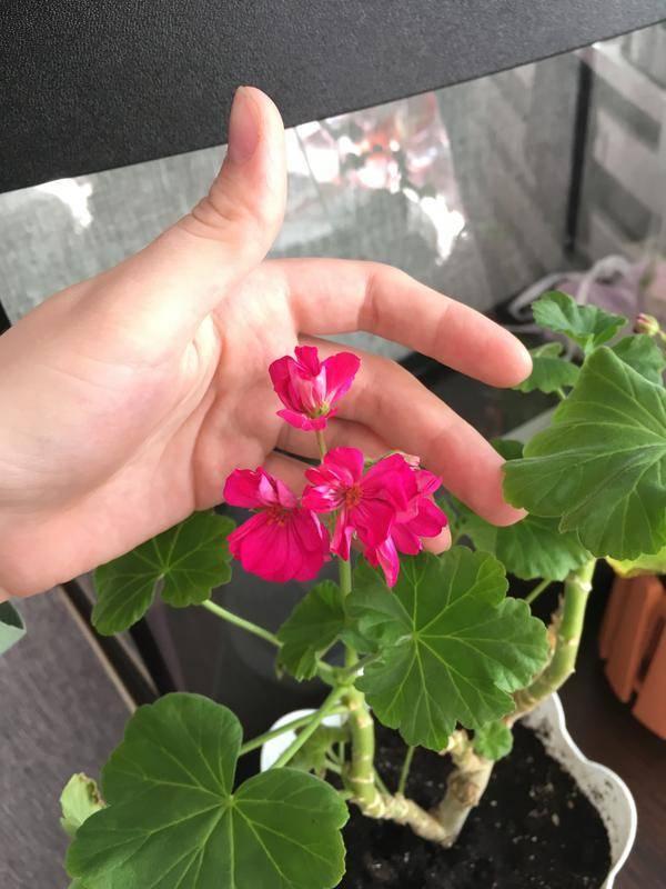 Как заставить цвести герань в домашних условиях: почему растут только листья