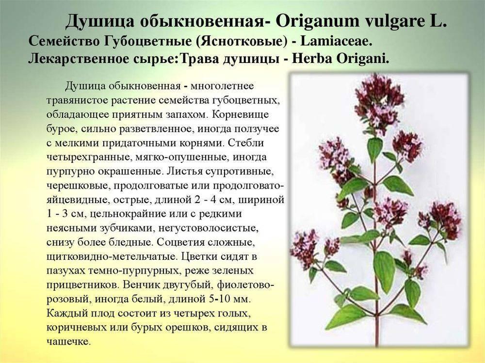 Крестовник обыкновенный растение