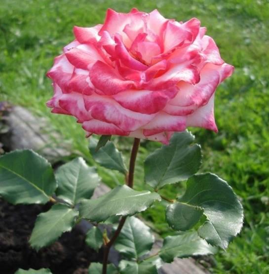 Выращивание розы принцесса монако