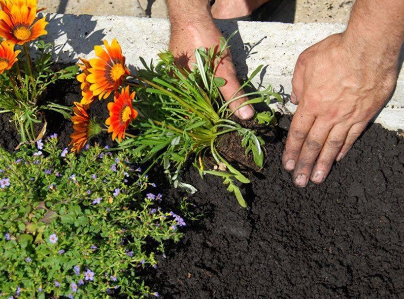 Как посадить гелениум в открытом грунте? правила ухода