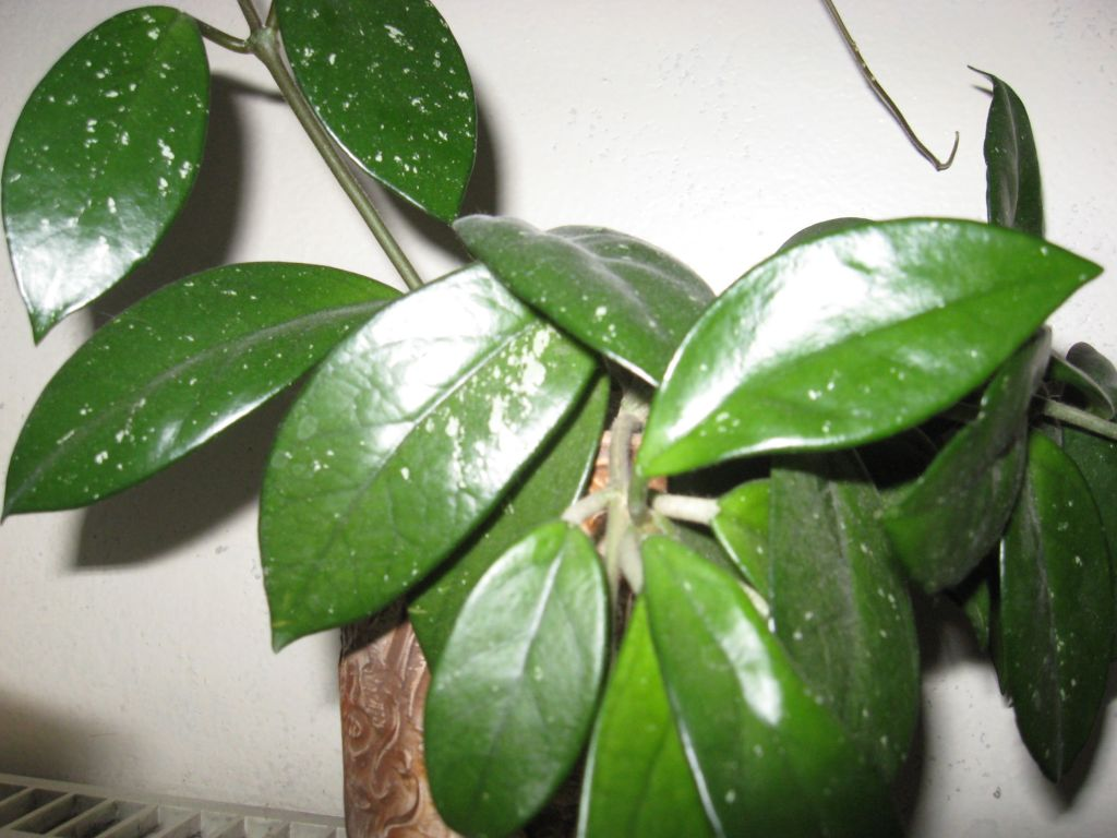Описание и фото цветка хойа лакуноза, способы размножения и особенности ухода