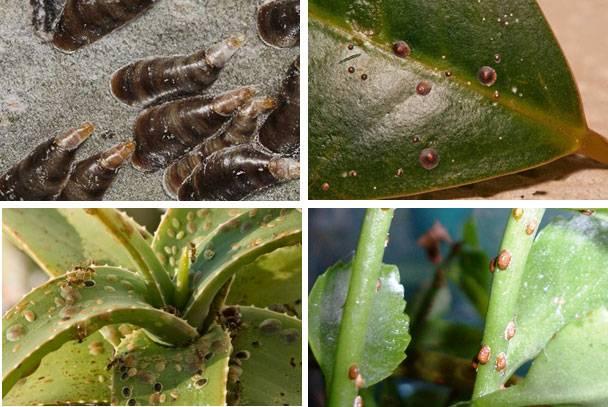 Как бороться с щитовкой на комнатных растениях: советы и фото