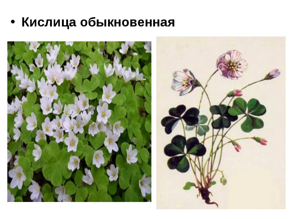 Кислица обыкновенная — описание растения - pocvetam.ru