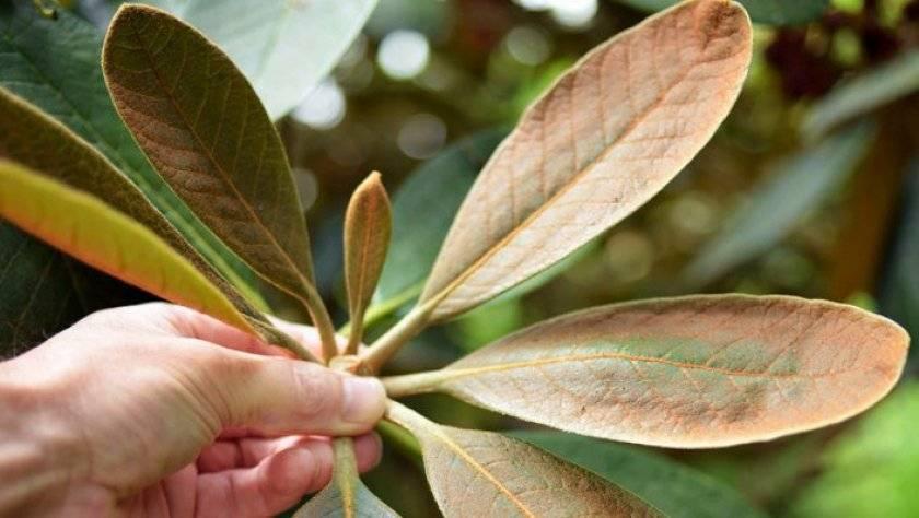 Причины плохого роста и отсутствия цветения рододендрона
