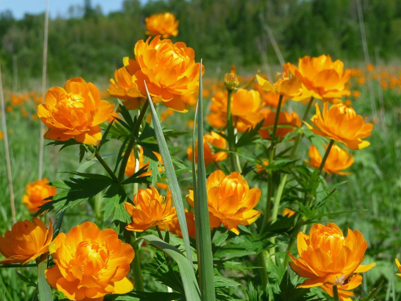 17 однолетников с желтыми и оранжевыми цветками – пустите в сад солнце!