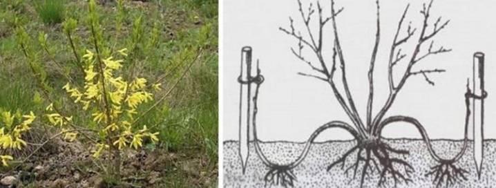 Размножение форзиции черенками — как разводить летом