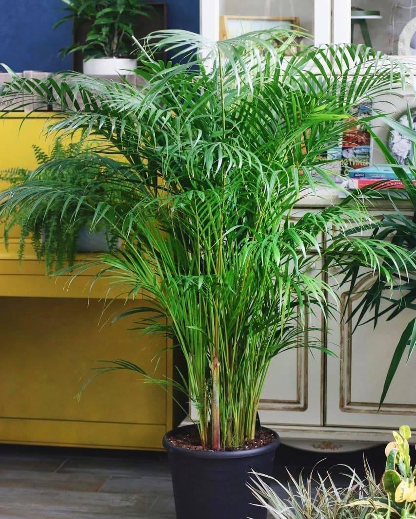Пальма арека — уход в домашних условиях и размножение