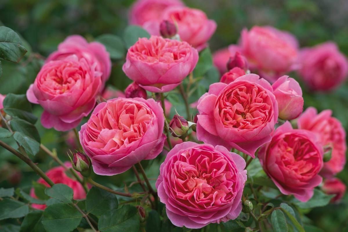 Парковая роза: описание и выращивание