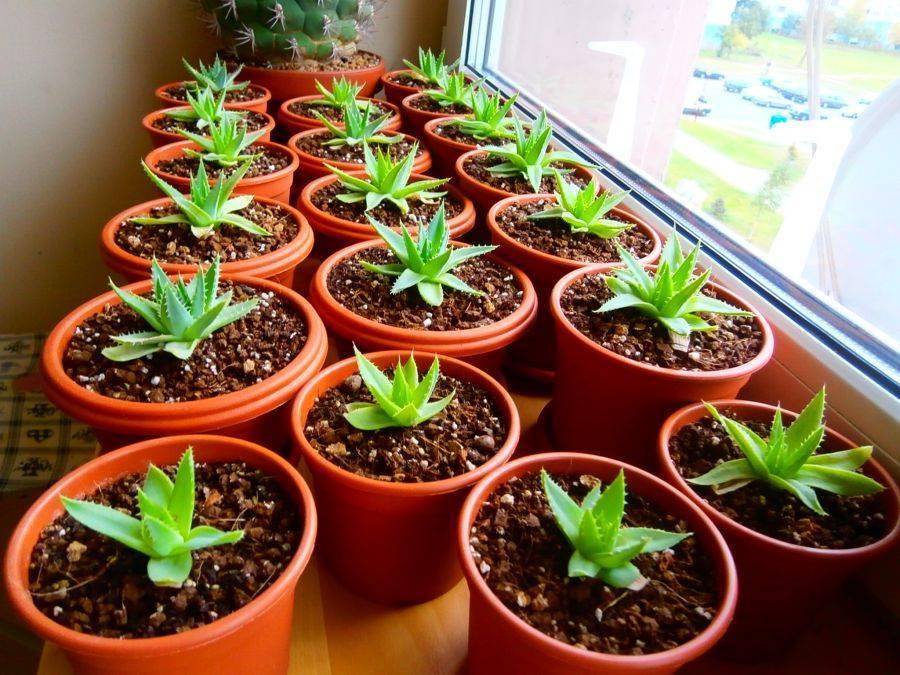Все, что нужно знать об уходе за стрептокарпусом, о выращивании, пересаживании, размножении и болезнях цветка