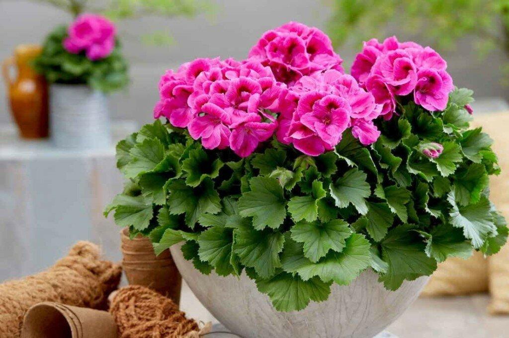 Когда, как и при каких условиях цветет герань? смотрим фото растения