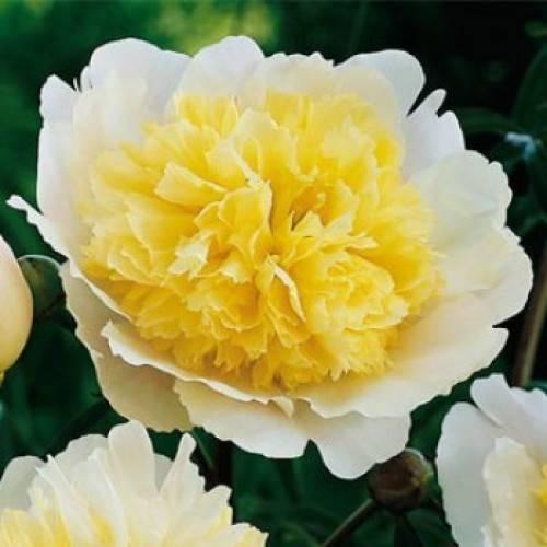 Пион молочноцветковый (34 фото): описание сортов «очарование» и «канзас», «дюшес де немур» и «сорбет», «сара бернард» и «ред дабл», выращивание из семян