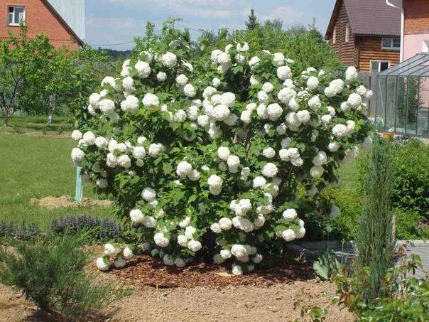 Калина «бульденеж» (33 фото): описание калины обыкновенной «розеум», декоративный сорт в ландшафтном дизайне, обрезка после цветения