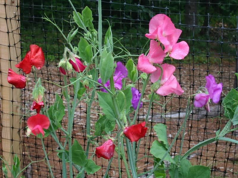 Душистый горошек. когда и как высаживать семена в грунт