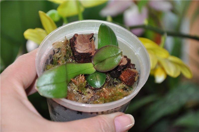 Необычная орхидея каттлея: описание сорта и уход