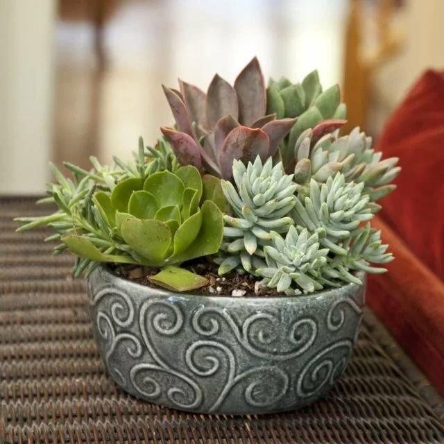 Эхеверия: уход в домашних условиях за каменной розой, фото цветка, посадка, размножение и болезни