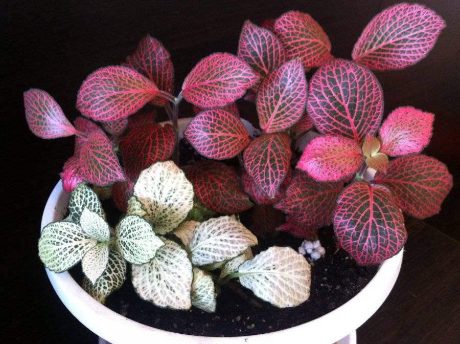 Фиттония — уход в домашних условиях и размножение