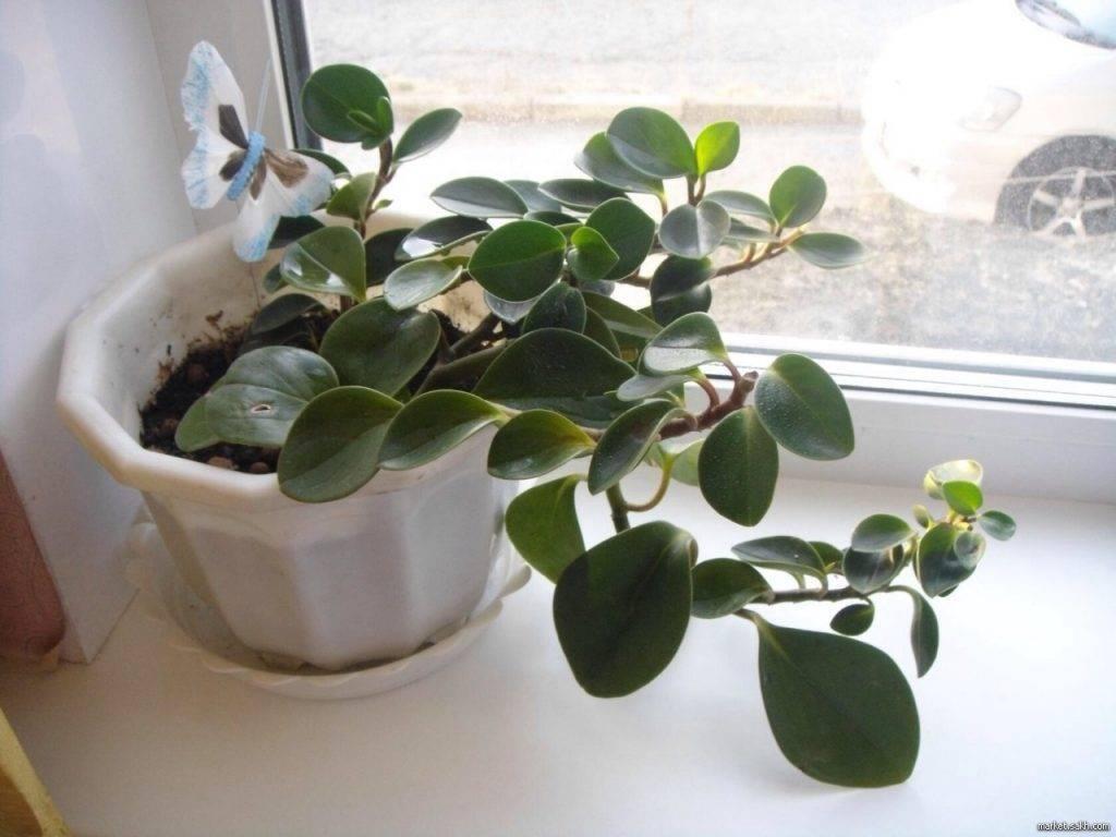 Уход и размножение за пеперомией лилиан каперата в домашних условиях